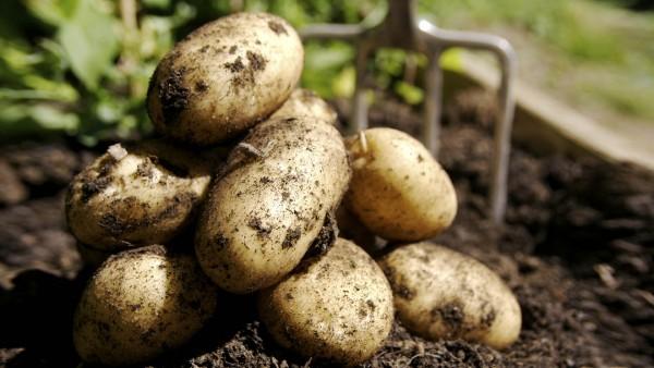 Картошка от бородавок